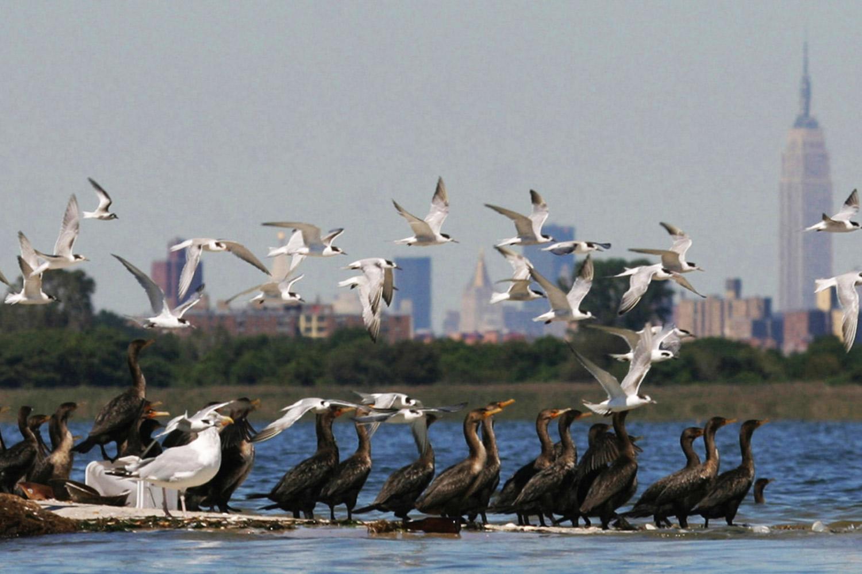 Gulls flocking over the Jamaica Bay estuary