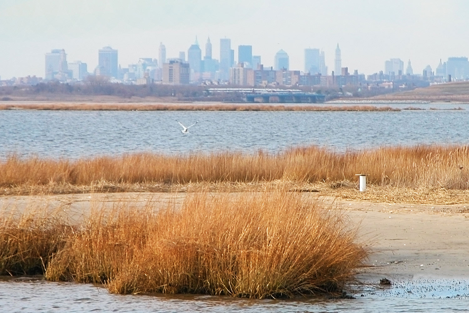 A bird coming in to land on a sandy island in the Jamaica Bay estuary, amongst long grass